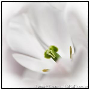 Bílý tulipán