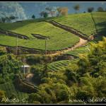 Čajová plantáž v oblasti Alishan