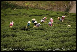 Tchaj-wan - Sběr čaje v oblasti Alishan