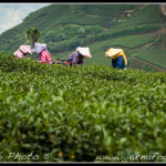 Odsud je vynikající čaj High Mountain Oolong