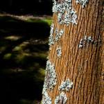 Azory strom