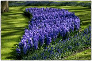 Hyacinty - Keukenhof