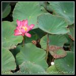 Lotos na jezeře - Kaohsiung