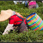 Sběračka čaje na Taiwanu
