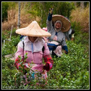 Na čajové plantáži v oblasti Wuhe
