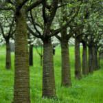 Petřín stromořadí