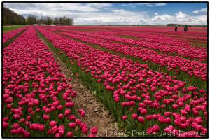 Tulipánové pole Noordostpolder