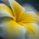 Pozadí plocha - Květ plumérie