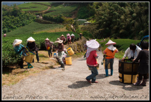 Práce na čajové plantáži, Alishan