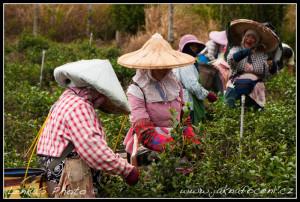 Práce na čajové plantáži