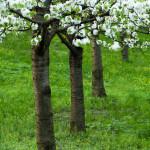 Petřín stromořadí II