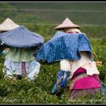 Tchaj-wan - Na čajové plantáži