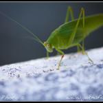 Taiwanská kobylka