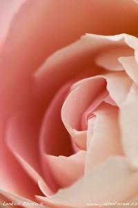 Tapeta do mobilu růže