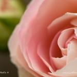 Tapeta na plochu růže