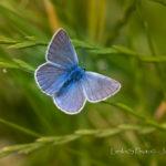 Tapeta na pozadí - motýl modrásek
