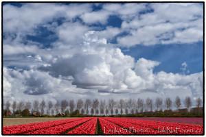 Tulipány Noordoostpolder