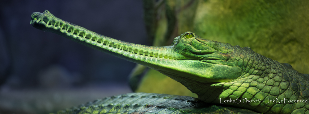 ZOO Gavial - FB cover