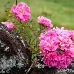 Azory planá růže