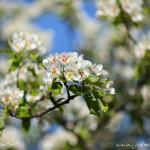 Kvetoucí strom na Petříně