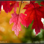 Podzimní kanadský javor